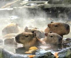 ゆず湯、湯治、温泉、お風呂、カピバラ