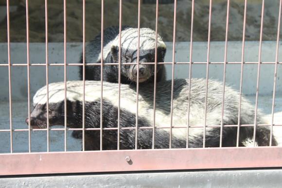 ラーテル、ムテ吉、東山動物園、東山動植物園